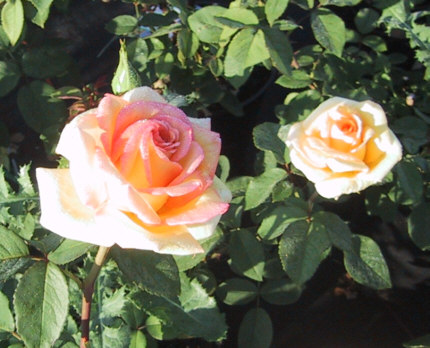 delbard rosen